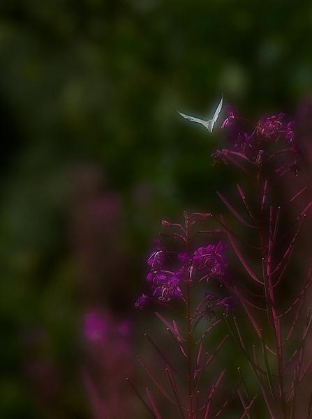 090801 fjäril i flykt