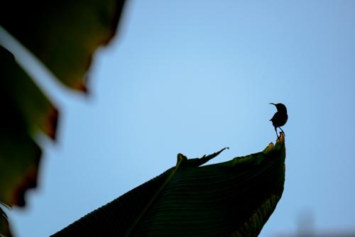 solfågel...